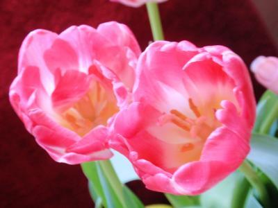La primavera en mi Jardin..primeros Tulipanes